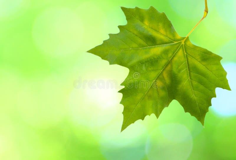 Folhas bonitas do verde   fotos de stock