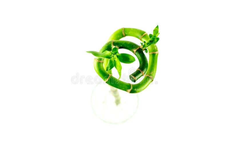 Folhas bonitas do verde de Growthing do dracaena da fita, bambu afortunado, fotos de stock royalty free