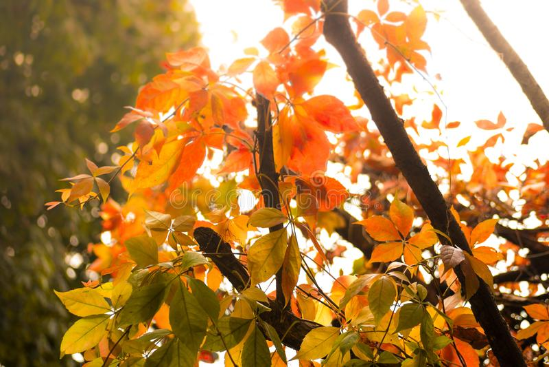 Folhas bonitas vermelhas, da laranja e do ouro em uma árvore no outono fotos de stock royalty free