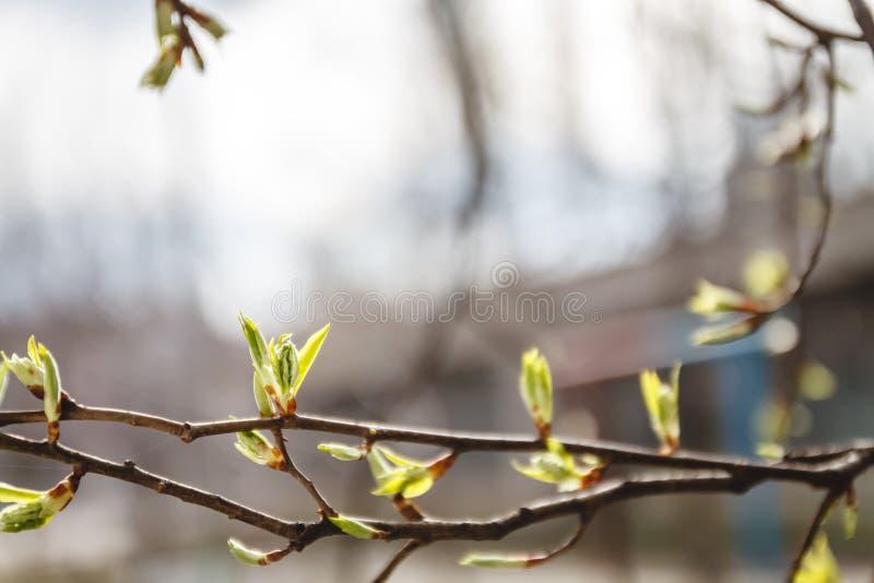 Folhas, botões e tiros novos em um ramo de árvore na mola na luz solar no borrão imagem de stock