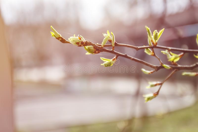 Folhas, botões e tiros novos em um ramo de árvore na mola na luz solar no borrão imagem de stock royalty free