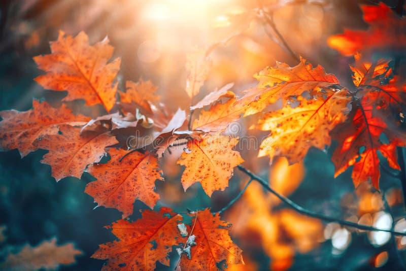 Folhas brilhantes coloridas do outono que balançam em um carvalho no parque outonal Fundo da queda fotos de stock royalty free