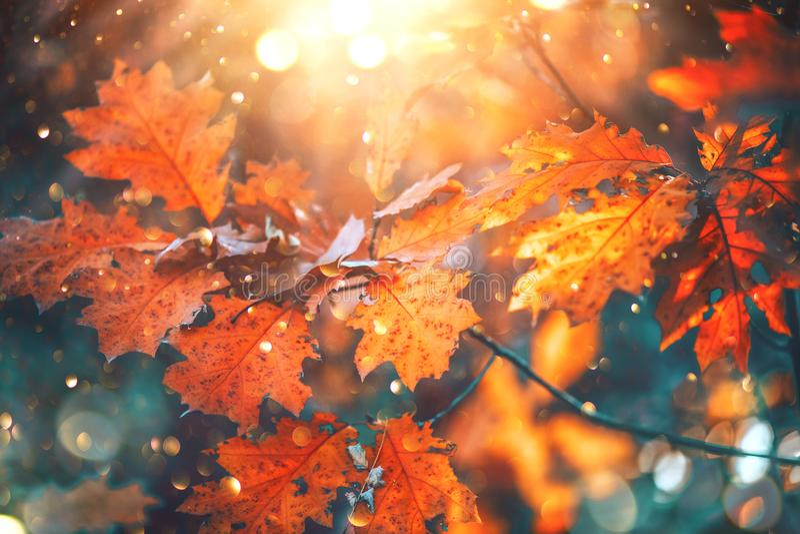 Folhas brilhantes coloridas do outono que balançam em um carvalho no parque outonal Fundo da queda foto de stock