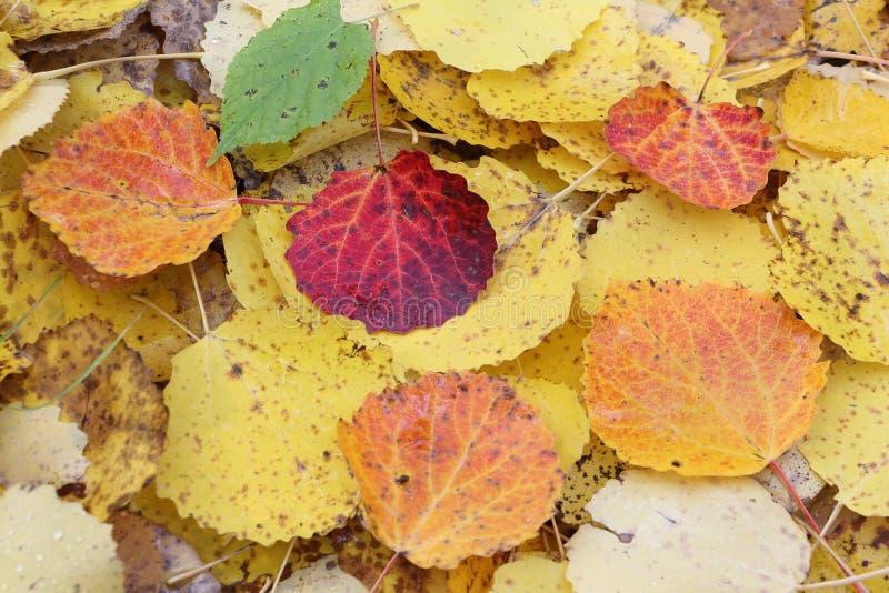 Folhas caídas de um álamo tremedor na queda fotos de stock royalty free
