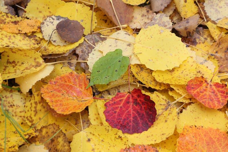 Folhas caídas de um álamo tremedor na queda imagem de stock royalty free