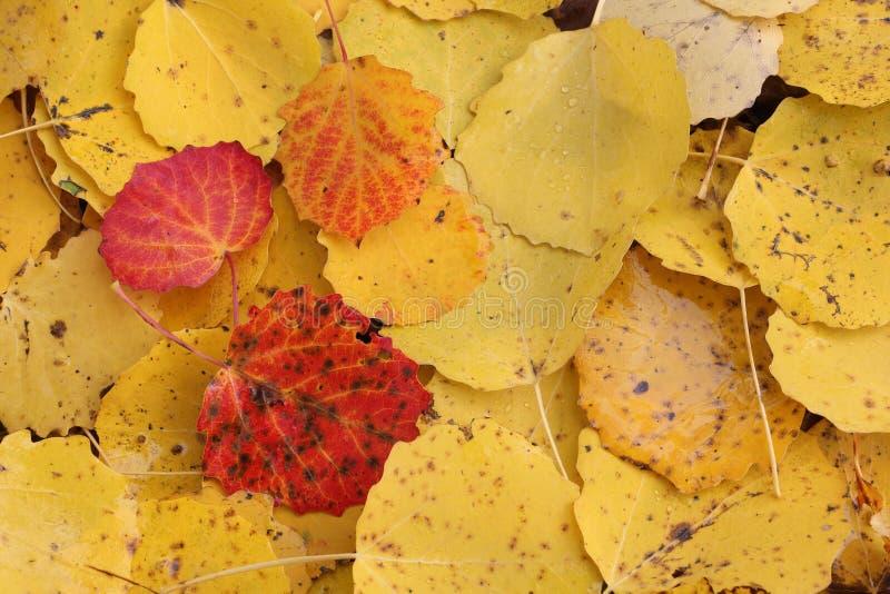Folhas caídas de um álamo tremedor na queda foto de stock royalty free