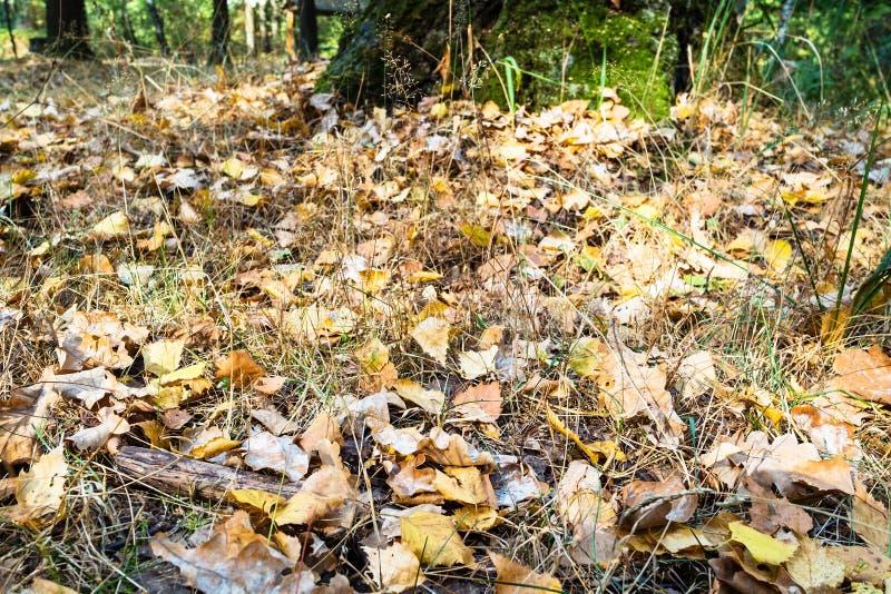 Folhas caídas do carvalho e do vidoeiro perto acima no parque urbano fotos de stock royalty free