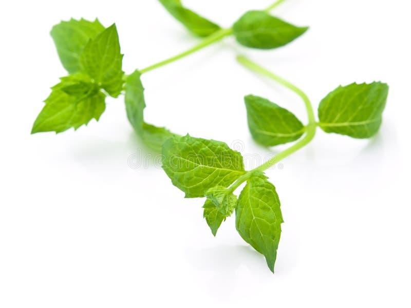 Folhas colhidas frescas do spearmint isoladas no branco imagem de stock