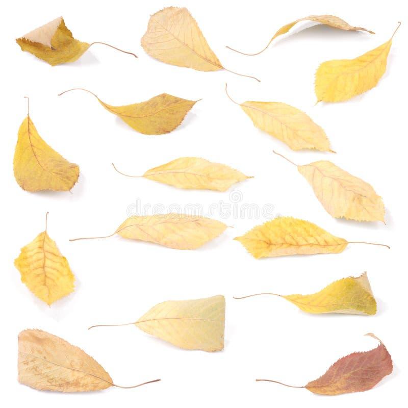 Folhas coloridas bonitas da cereja do outono do grupo da cole??o foto de stock royalty free