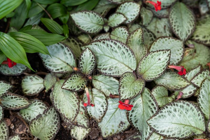 Folhas coloridas da planta do cupreata do Episcia imagem de stock royalty free