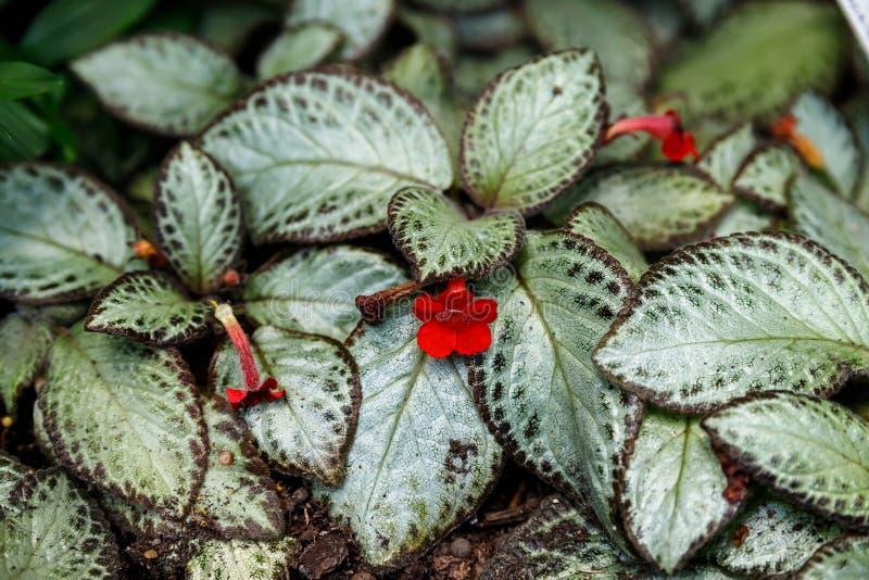 Folhas coloridas da planta do cupreata do Episcia fotos de stock royalty free