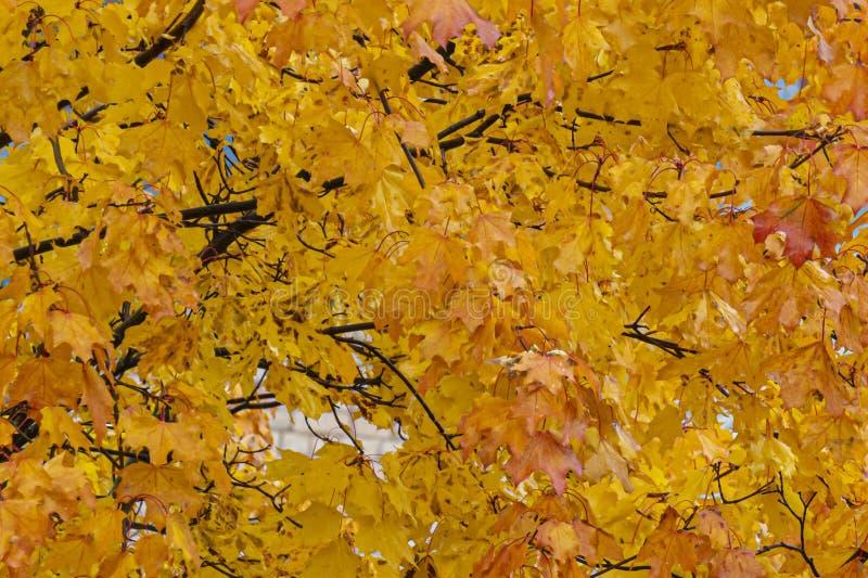 Folhas coloridas de mapeamento laranja amarelo numa árvore Contexto natural abstrato imagens de stock