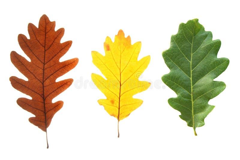 Folhas coloridas do carvalho imagem de stock royalty free