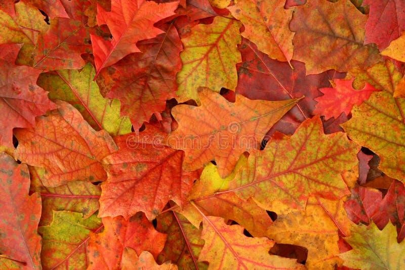 Folhas coloridas do carvalho da queda fotos de stock