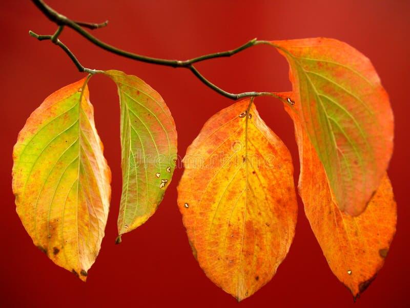 Folhas coloridas do corniso no vermelho no outono fotografia de stock royalty free