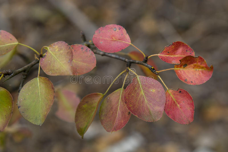 Folhas coloridas do sopro do sável em cores da queda imagens de stock royalty free
