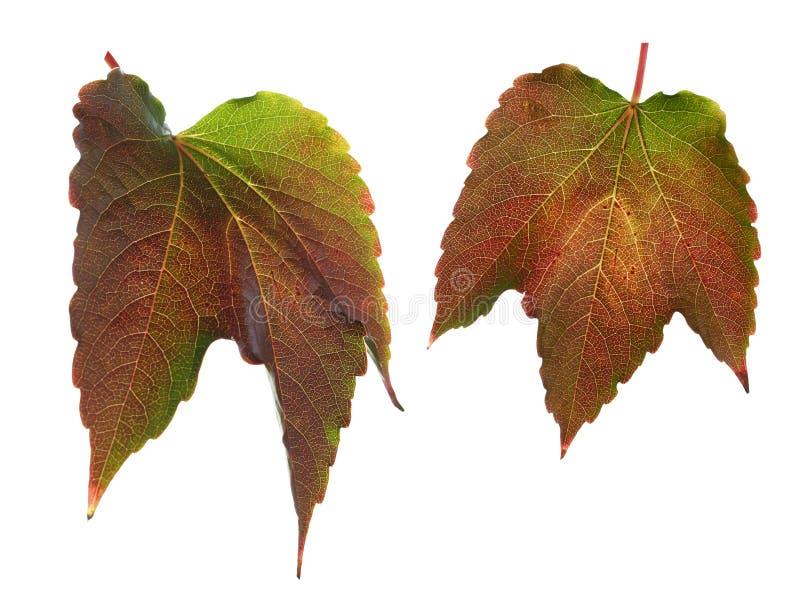 Folhas coloridas isoladas fotografia de stock