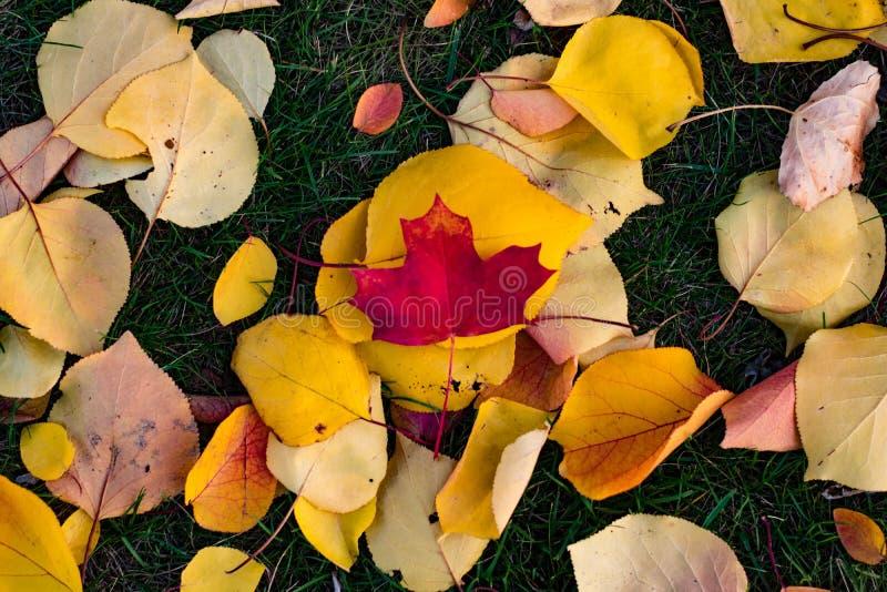 Folhas coloridas que encontram-se na grama fotos de stock