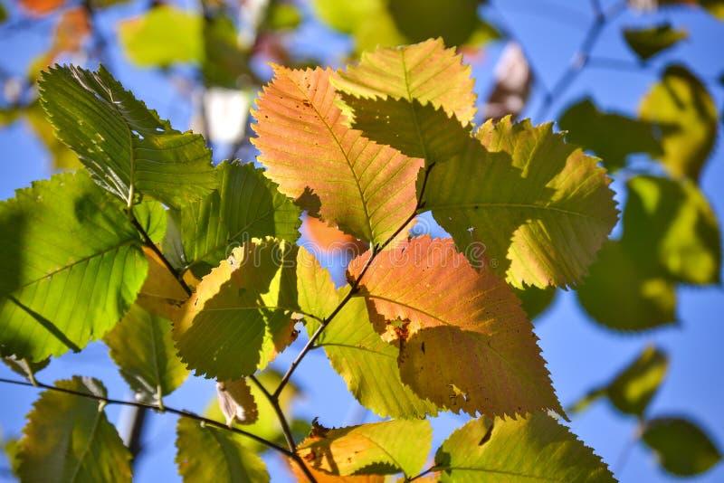Folhas coloridos da avelã do outono bonito Vermelho, amarelo, verde contra um céu azul Close-up fotografia de stock royalty free
