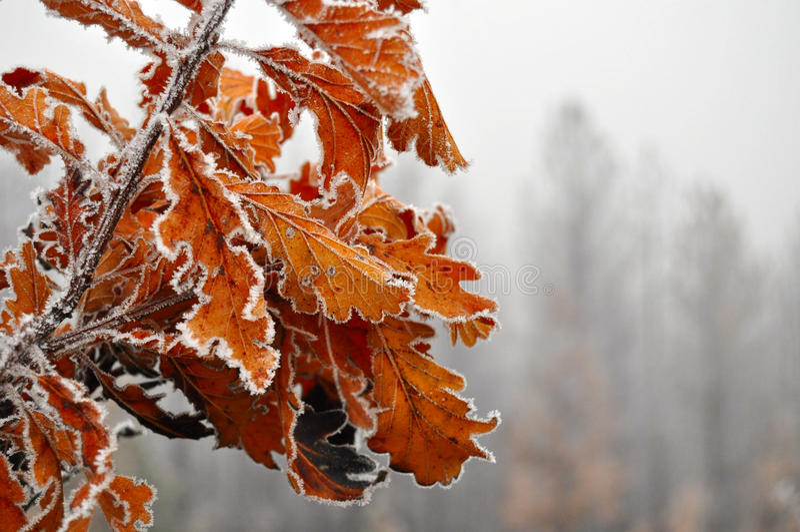 Folhas congeladas foto de stock royalty free
