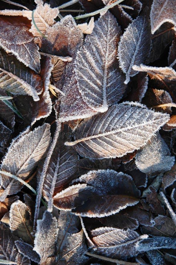 Folhas congeladas fotografia de stock royalty free