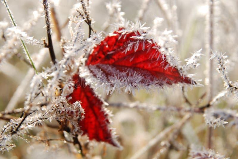 Folhas congeladas do vermelho no outono imagens de stock