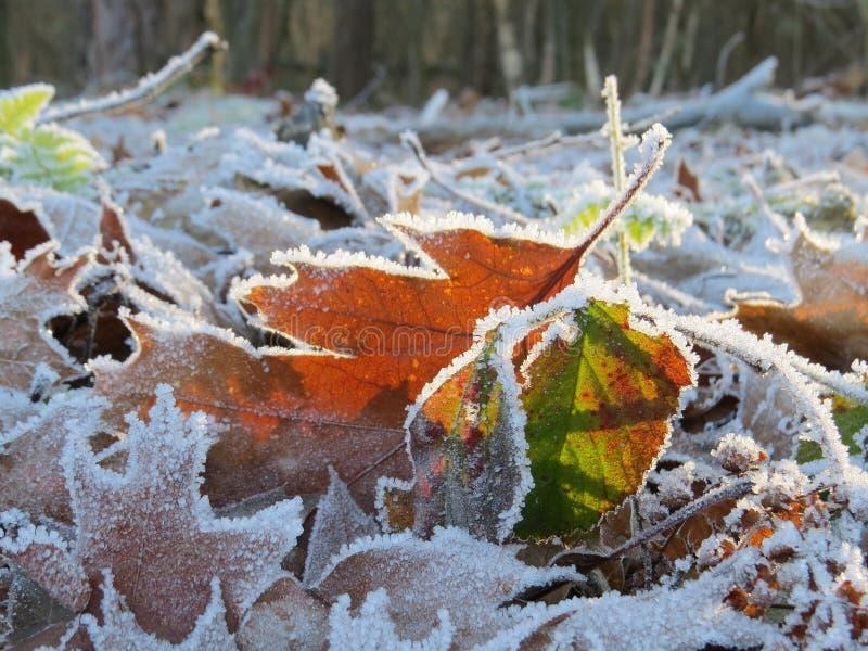Folhas congeladas na luz solar fotografia de stock royalty free