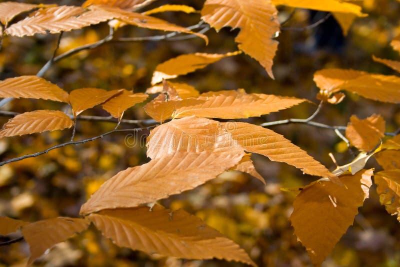 Folhas consideravelmente douradas. foto de stock royalty free