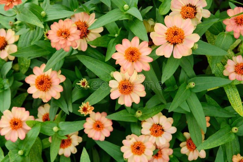 Folhas cor-de-rosa bonitas da flor e do verde para o fundo fotos de stock royalty free