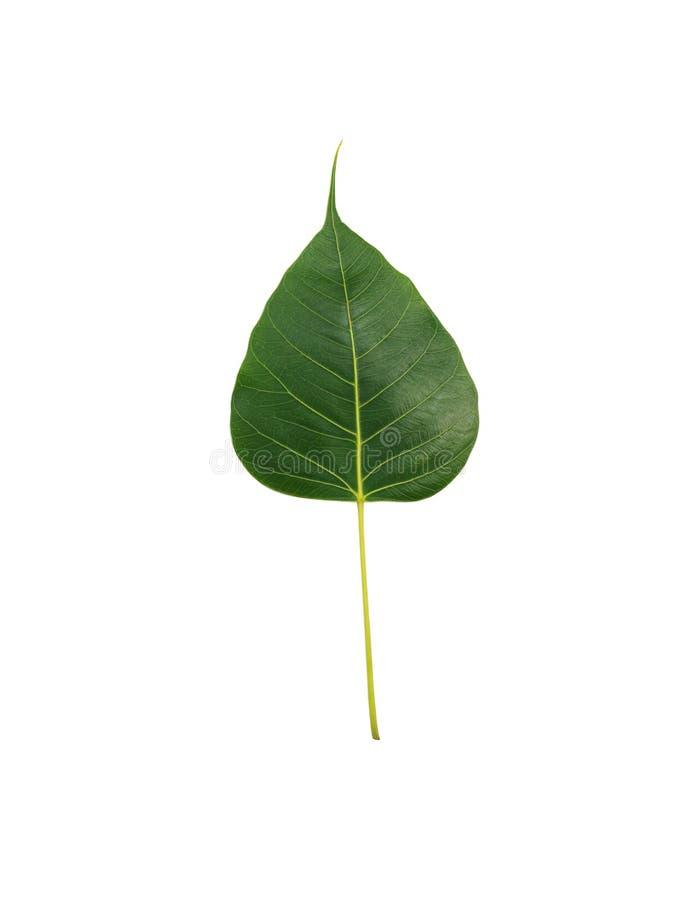 Folhas coração-dadas forma folhas da BO fotografia de stock