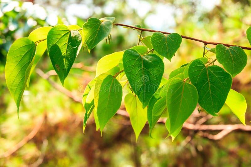 folhas Coração-dadas forma na árvore imagens de stock