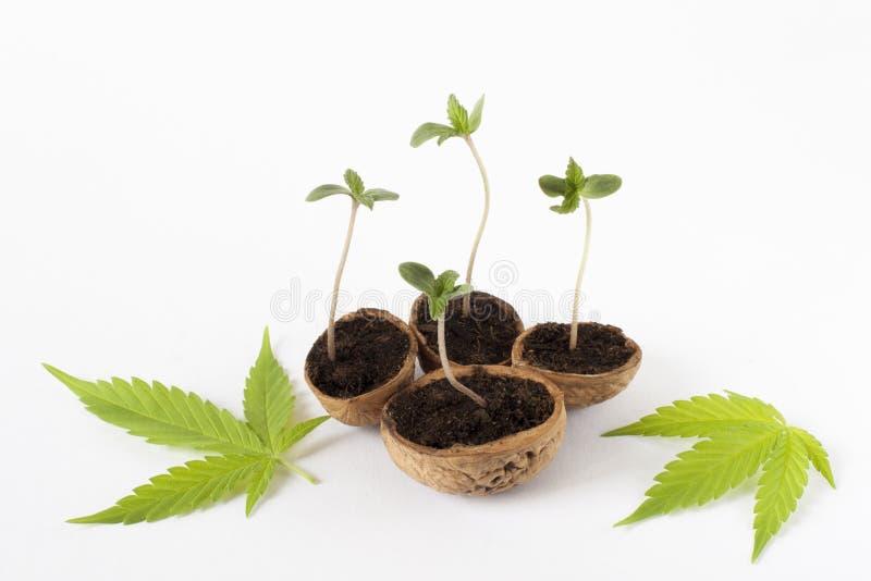 Folhas crescentes do verde da planta do cannabis da marijuana foto de stock