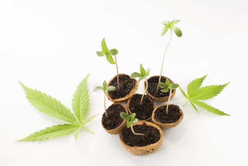 Folhas crescentes do verde da planta do cannabis do bebê imagens de stock royalty free
