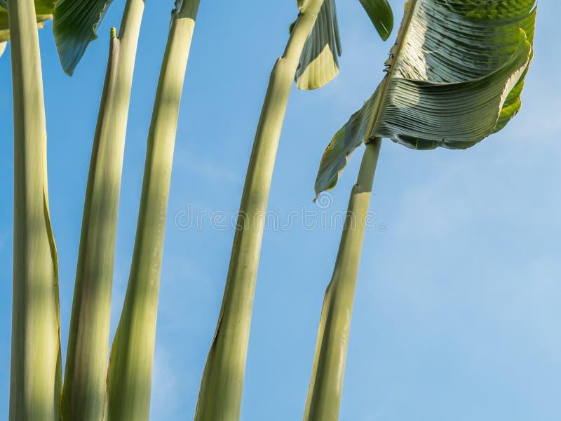 Folhas da árvore de banana foto de stock