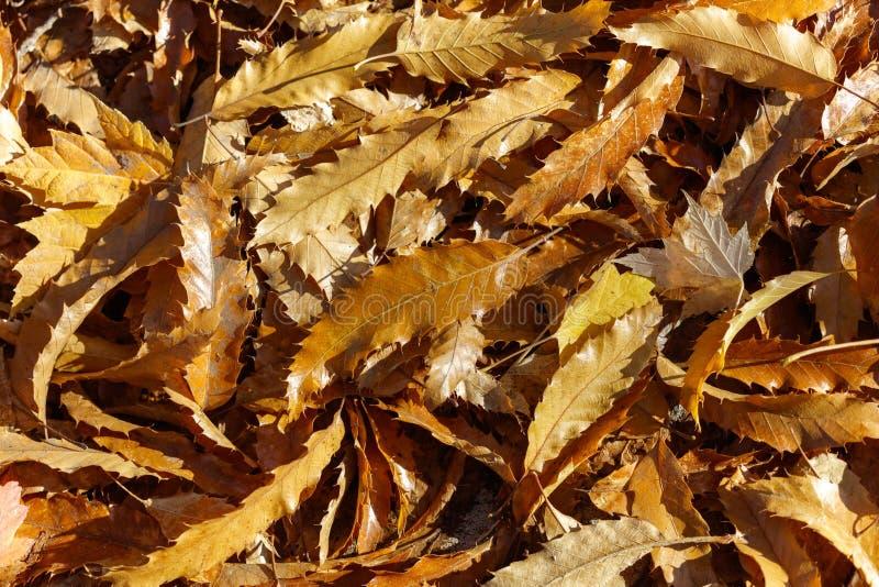 Folhas da árvore de castanha imagem de stock royalty free