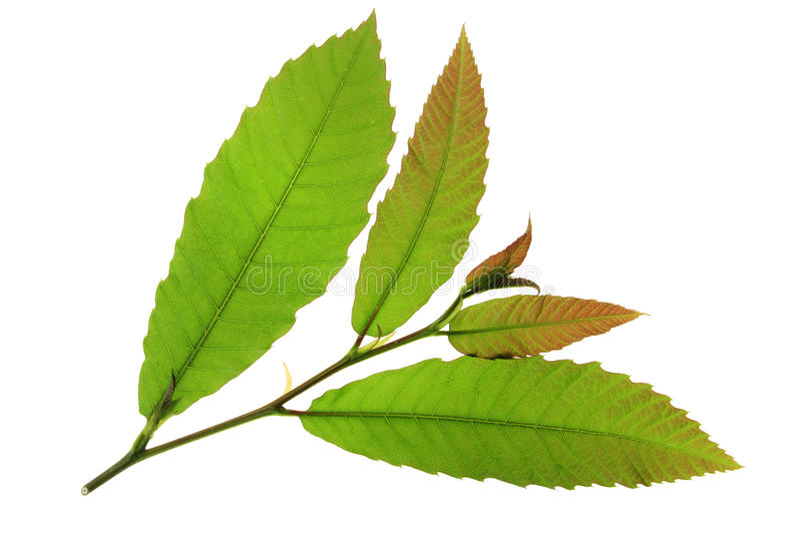 Folhas da árvore de castanha fotos de stock