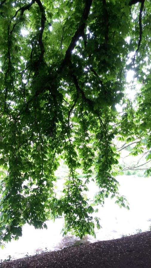 Folhas da árvore de castanha fotografia de stock royalty free