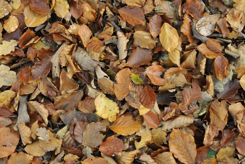 Folhas da árvore de faia fotos de stock royalty free