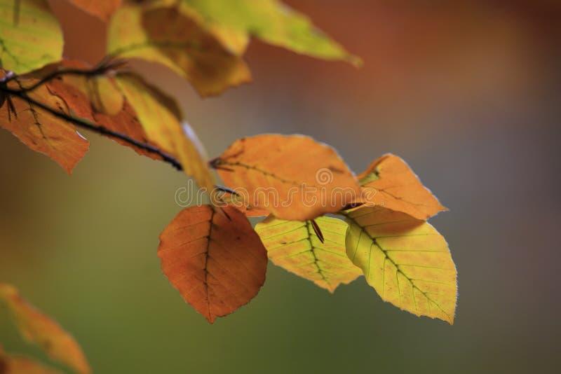 Folhas da árvore de faia fotos de stock