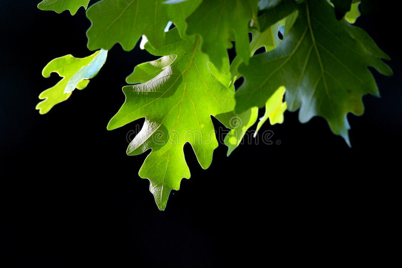 Folhas da árvore de Pin Oak fotos de stock