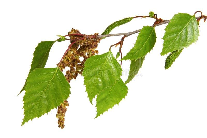 Folhas da árvore de vidoeiro imagem de stock royalty free