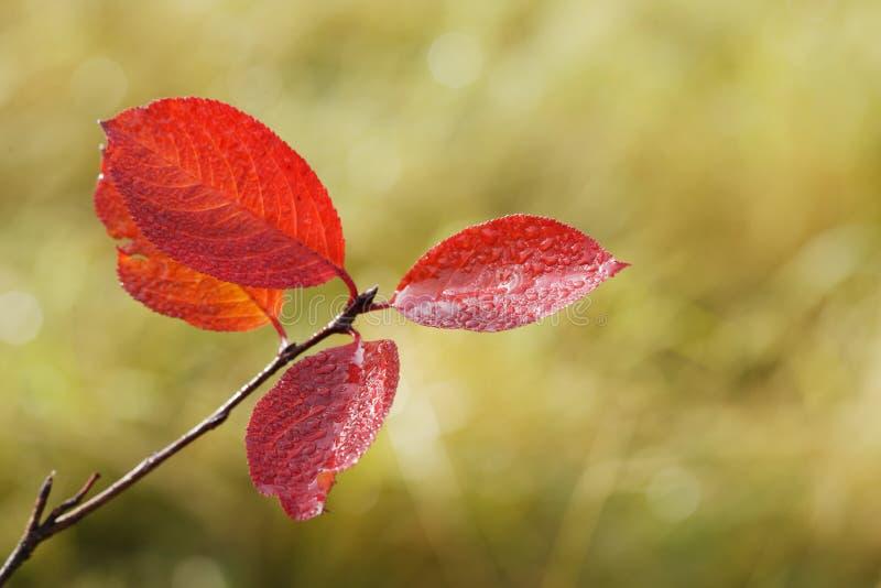 Folhas da árvore do aronia fotografia de stock royalty free