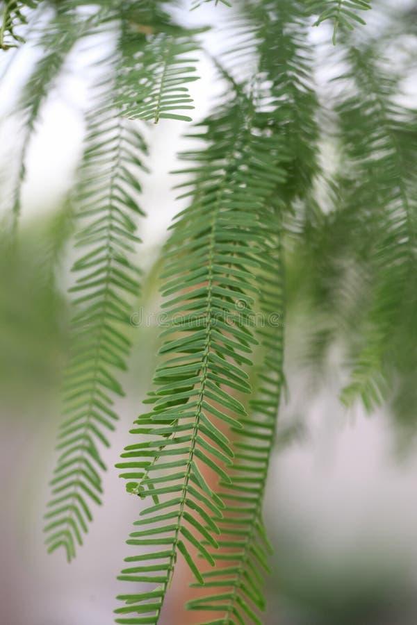 Folhas da árvore do Mesquite imagem de stock