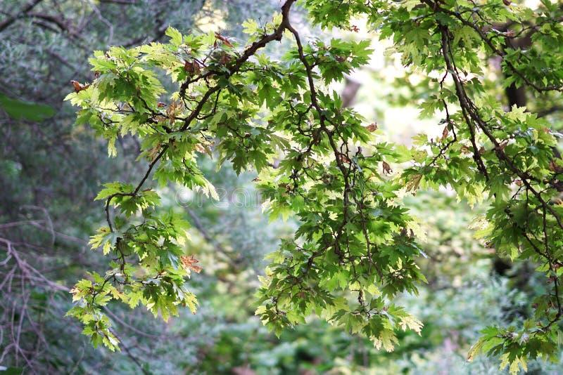 Folhas da árvore plana contra a luz no Acheron de rio, Epirus fotos de stock royalty free