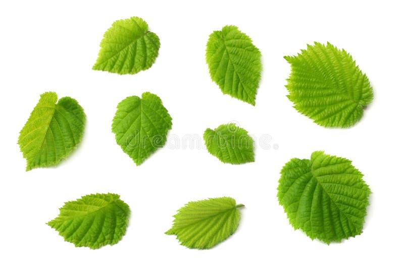 Folhas da avelã isoladas no fundo branco Vista superior imagens de stock