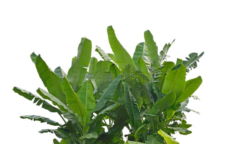 Folhas da banana imagens de stock