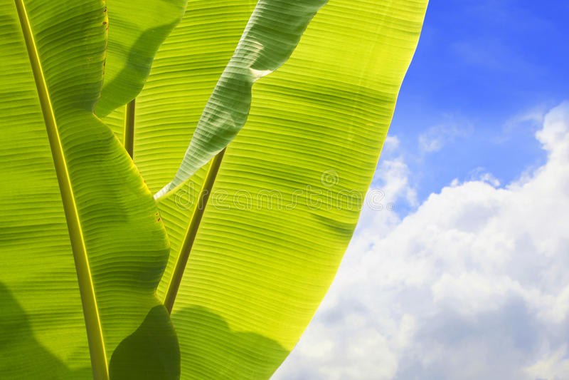 Folhas da banana foto de stock