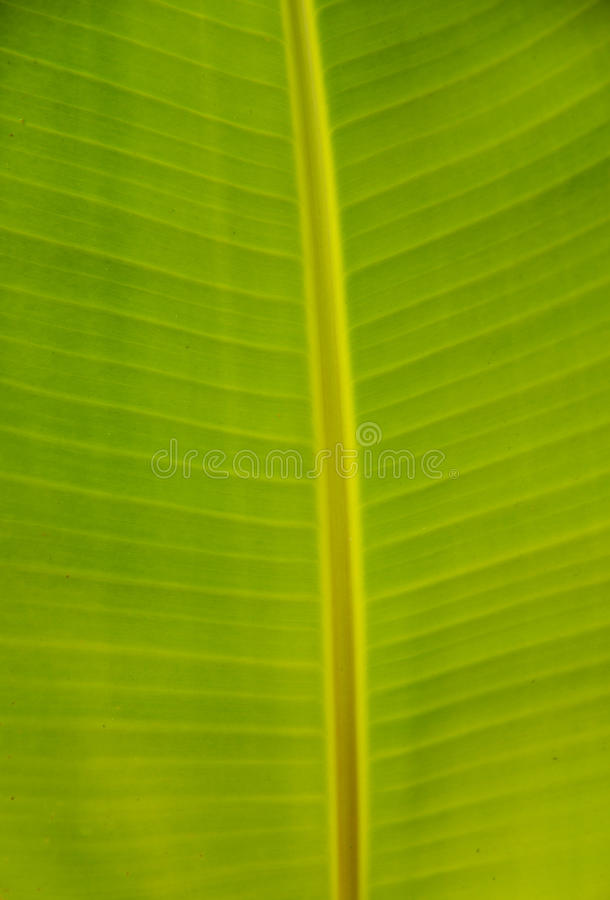 Folhas da banana foto de stock royalty free
