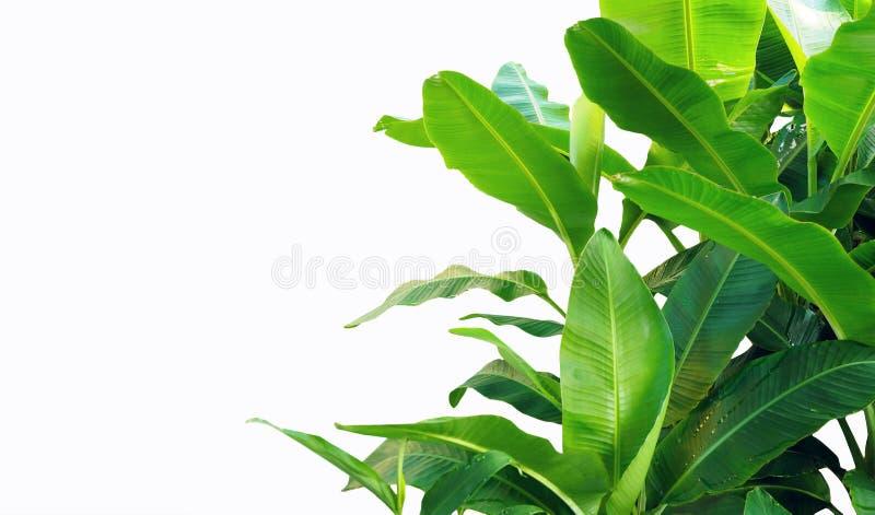 Folhas da banana isoladas no fundo branco imagens de stock royalty free