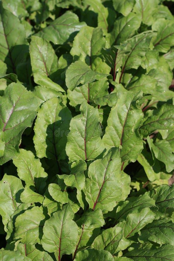 Folhas da beterraba vermelha fotos de stock